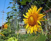 Urban Gardening Sunflowers