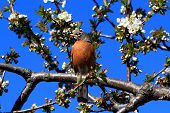 Robin Bird And Blooming Cherry Tree.