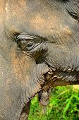 Close-up and an asian elephant's face and eye