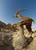 Dry tree in the desert in the shape of a walking man with horns