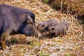 picture of pot bellied pig  - A pot bellied pig with three young ones - JPG