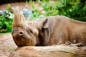 Black rhino resting its head on log