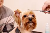 Yorkshire Terrier getting his hair cut