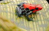 tropical pet frog, ranitomeya amazonica. Red poison dart frog from Amazon rain forest in Peru. These