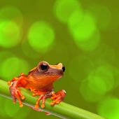 red tree frog climbing in tropical Amazon rain forest. Small amphibian with big eyes, Dendropsophus
