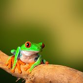 red eyed treefrog, from Costa Rica tropical rainforest. This vibrant tree frog is often kept as an e