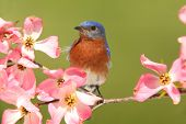 Bluebird With Dogwood Flowers