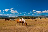 Horses enjoy the peace in Yellowstone National Park, USA