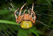 Garden-spider On Spider-web