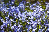 flowerbed with blooming scilla flowers (Chionodoxa sardensis)