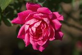 Rote Knock Out Rose