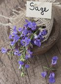 stock photo of purple sage  - sage flower - JPG