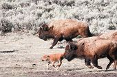 Bisons and Calf