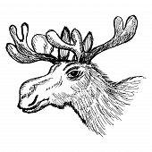 Head Of Moose