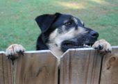 Dog On The Fence