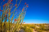 stock photo of ocotillo  - Ocotillo Fouquieria splendens red flowers in Mohave desert california USA - JPG