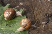 Snails At A Walk