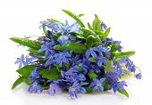 Gentle blue scilla with drops