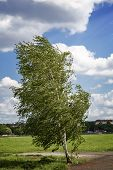 Birch Tree At The Tempelhofer Feld, Berlin Germany