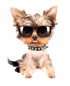 Portrait of dog with spiked collar and shades