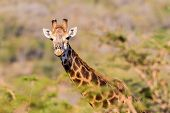 Постер, плакат: Giraffe Wildlife Who You