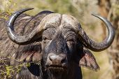 Buffalo Head Horns Wildlife