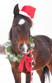foto of horse wearing santa hat  - Cute dark bay Arabian horse with a Santa hat - JPG