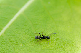 pic of mandible  - Black ant on a green Texture of leafe background in summer day on farmland - JPG