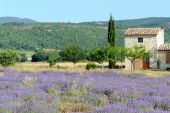 Lavender In Provence (france)
