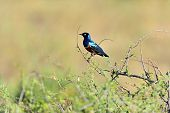 Colorful Superb Starling