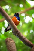 superb starling, orange-blue bird sits on a branch on brightly green background.