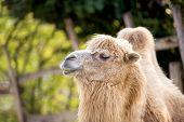 Portrait of camel (camelus ferus)
