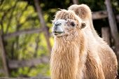 Portrait of Bactrian camel (camelus ferus)
