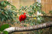 Scarlet ibis (Eudocimus ruber) standing   on branch