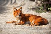 Red Fox lying on sand, predator in wild
