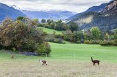 picture of alpaca  - Alps landscape with alpacas near Filisur - JPG