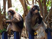 Spectacled Langurs (trachypithecus Obscurus) Eating Banana