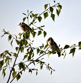 stock photo of goldfinches  - A Pair of Goldfinches in a tree - JPG