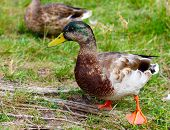 Male Mallard Duck Ducks