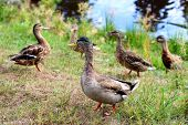 pic of male mallard  - Male Mallard Duck Ducks standing in grass