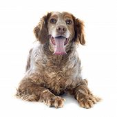 foto of epagneul  - portrait of a brittany spaniel in front of white background - JPG