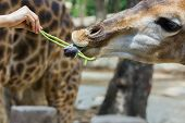 Hand Of Female Giving Cowpea To Giraffe In Thailand