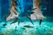 stock photo of nibbling  - Fish spa pedicure wellness skin care treatment with the fish rufa garra - JPG