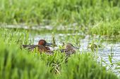 foto of marshes  - A male and female Cinnamon Teal couple in the marsh area near Hauser Lake Idaho.