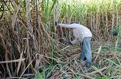 Sugarcane field and worker