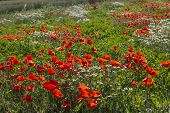 stock photo of angiosperms  - Red poppies on green weeds fields during spring in Italian countryside - JPG