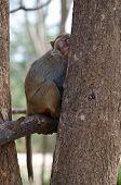 Rhesus Macaque Monkey Sleeping On Tree