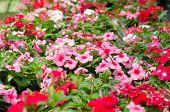 Periwinkle Flowers  In Garden