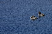 stock photo of grebe  - Couple of great crested grebe on blue water - JPG