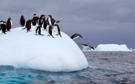 picture of iceberg  - Gentoo Penguin jumping off of iceberg into Antarctic waters - JPG
